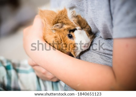 Guinea pig in hands of child. Pet's muzzle close-up. child holds tame domestic rodent in arms. Soft focus Сток-фото ©