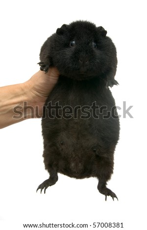 guinea pig in hands on a white background