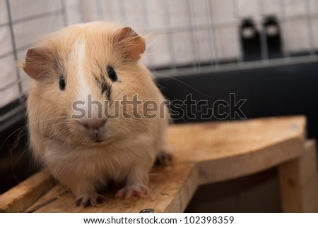 Guinea-pig in its cage