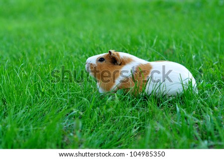 Guinea pig in the green grass