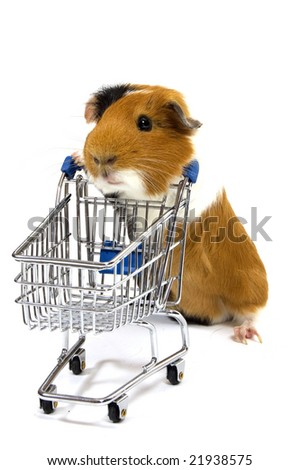 guinea pig is making shopping with a shopping car on white - stock photo