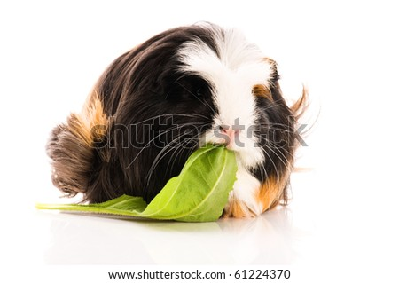 guinea pig isolated on the white background. coronet - stock photo