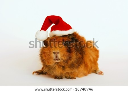 Guinea pig like Santa Claus
