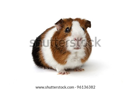 guinea pig on a white background #96136382