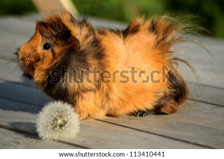 guinea pig on the wood surface with dandelion