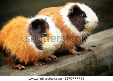 Guinea pig or domestic guinea pig,also know as cavy or domestic cavy, is a species of rodent, family Caviidae and genus Cavia.