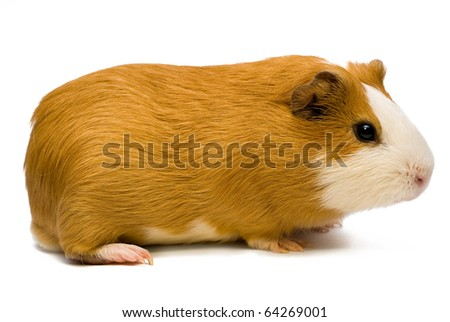 guinea pig over white - stock photo