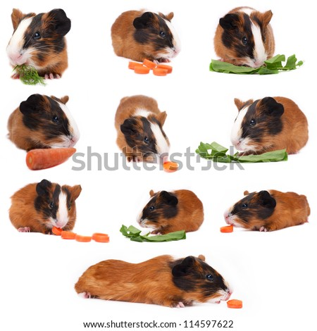 guinea pig set on the white background