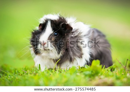 Guinea pig sitting outdoors in summer  #275574485