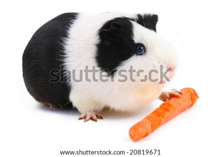 guinea pig with carrot isolated on white background