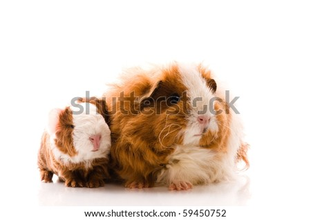 guinea pigs on the white