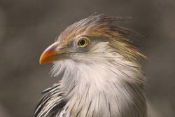 Guira Cuckoo (Guira guira), South America