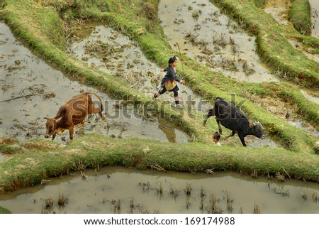 GUIZHOU, CHINA - APRIL 10: Countryside southwestern China, teen girl 10 years old, herding cattle on the rice terraces in the highlands, April 10, 2010. Basha Village, Congjiang County.
