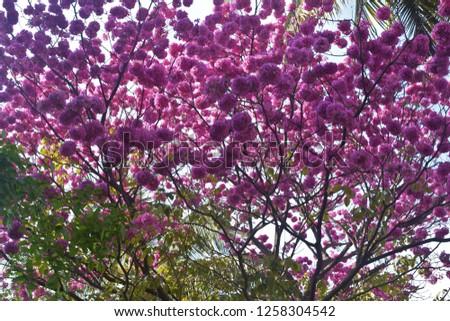 Gul Mohar Flowers #1258304542