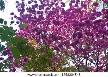 Gul Mohar Flowers #1258304548