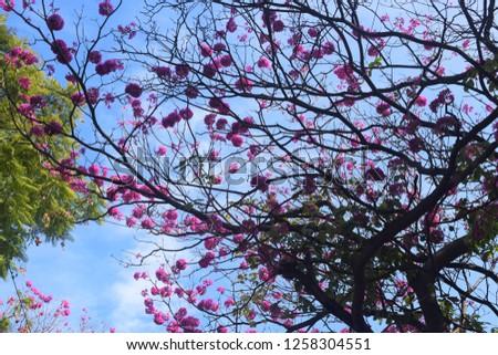 Gul Mohar Flowers #1258304551