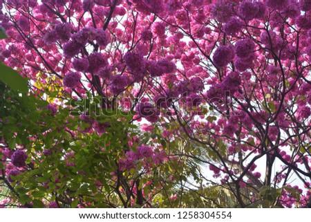 Gul Mohar Flowers #1258304554