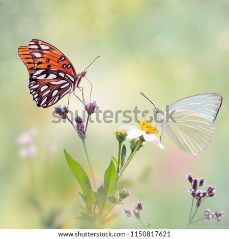 Gulf Fritillary and Great Southern White butterflies in a meadow