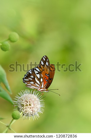 Gulf Fritillary butterfly (Agraulis vanillae) feeding on buttonbush flower. Natural green background with copy space.