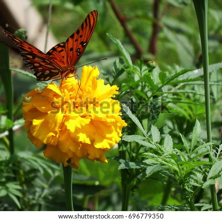 Gulf Fritillary (scientific Agraulis vanillae). Beautiful, large orange and black butterfly in garden, amidst leaves, feeding on yellow Marigold (scientific Tagetes) bloom. Summertime in Alabama #696779350