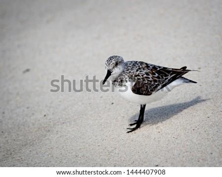Gulf Shores, AL USA - 05/11/2019  -  Shorebirds in Gulf Shores AL #1444407908