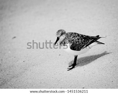 Gulf Shores, AL USA - 05/11/2019  -  Shorebirds in Gulf Shores AL in B&W #1451536211