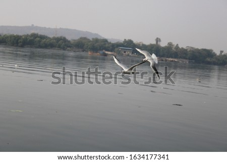 Gull Billed Tern Bird playing on the bank of Ulhas River.