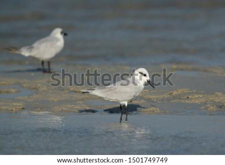 Gull-billed terns at Busaieen coast, Bahrain