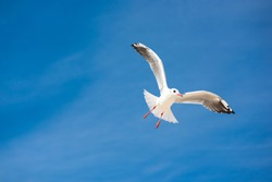 Gull bird on background of blue sky. Seagull sea bird flies on background of blue sky. Gullchick Flies over Expanse air. Top view of silhouette of flying seagull.