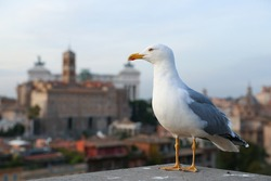 Gull bird on the palatine hill in the Rome city historical center on the concrete and spots of manure. Concept of combination wild nature fauna and city life.