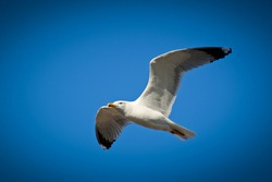 Gull flying on the blue sky. Sea mew flying high, with the wings wide opened, close up photo.