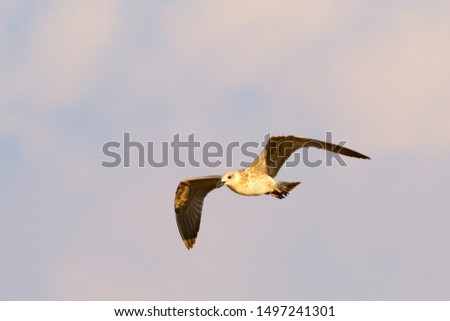 Gull in flight at sunset.The European herring gull Larus argentatus is a large gull, up to 26 in long. One of the best-known of all gulls along the shores of Western Europe.