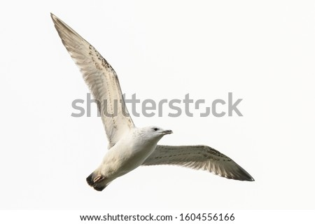Gull in flight , young bird. The European herring gull Larus argentatus. Flying with spread wings.