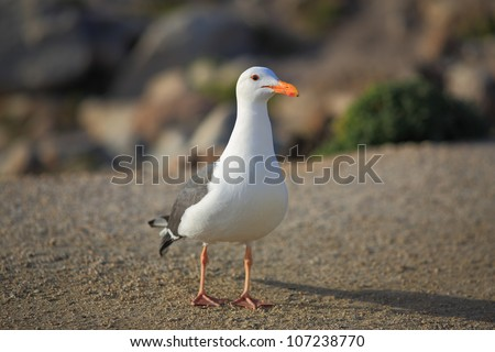 Gulls  are birds in the family Laridae. They are most closely related to the terns (family Sternidae) and only distantly related to auks, skimmers, and more distantly to the waders.