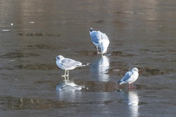 Gulls on frozen water in a city park. Birds on the ice of a frozen lake.