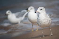 Gulls on Lake Michigan Shore