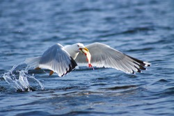 Gulls prey. This gull caught a fish and eats it immediately