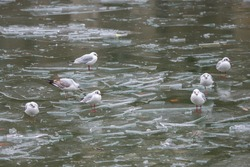 Gulls standing on a ice cold pond in winter, in Paris