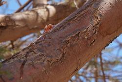 Gum arabic also known as gum sudani on the acacia tree bark