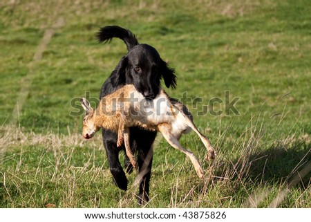 Gundog retrieving a hare