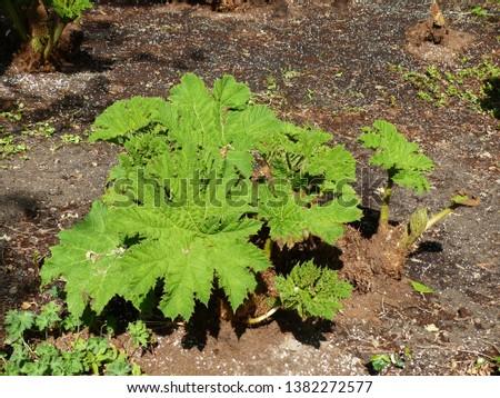 Gunnera manicata, known as Brazilian giant-rhubarb or giant rhubarb. Gunneraceae family. Location: Hanover District, Germany