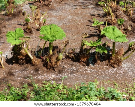Gunnera manicata (young plants), known as Brazilian giant-rhubarb or giant rhubarb. Gunneraceae family