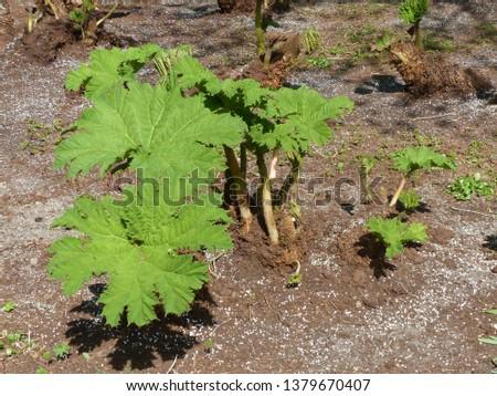 Gunnera manicata (young plants), known as Brazilian giant-rhubarb or giant rhubarb. Gunneraceae family