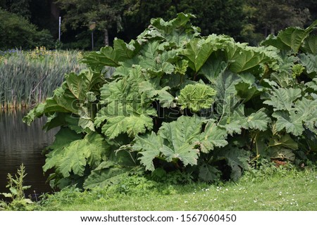 Gunnera tinctoria, known as giant rhubarb or Chilean rhubarb, is a giant, clump-forming herbaceous perennial flowering plant in the family Gunneraceae.