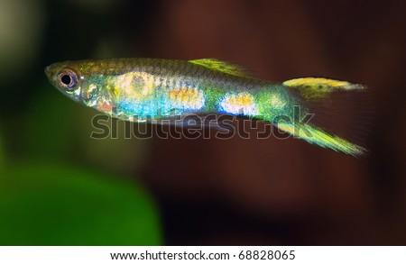 guppy endler poecilia reticulata wild