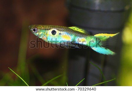 guppy endler wild