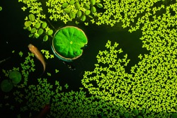 Guppy fish and Green lotus leaf floating in a lotus basin. Lotus flower in the basin, water lily flowers in a pond from top view. A pond full of water lilies background.