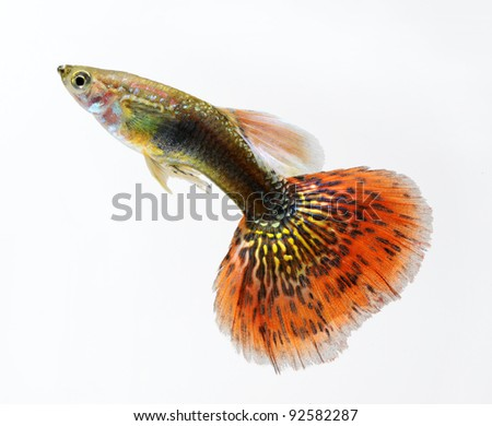 guppy pet fish swimming isolated