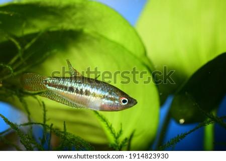 gurami pigmeo pez tropical agua., acuario anabantiformes, naturaleza belleza Foto stock ©