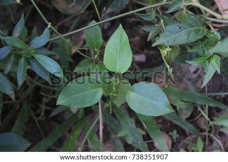 Gurmar medicinal plant for diabetes